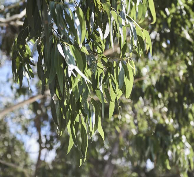 Close up of leaves on gum tree near Japara Anglesea aged care home