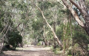 Walkway surrounded by gum trees near Japara Anglesea aged care home