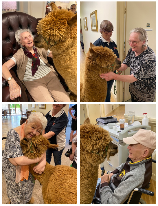 Residents at Naraccan Garden loved their pet therapy session with Chuckles the alpaca, playing with his fur and cuddling him.